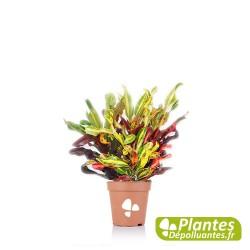 Plante Dépolluante - Croton Mammy