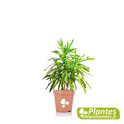 Plante Dépolluante - Croton Gold [Mini]