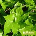 Plante Dépolluante - Hédera [Mini] Hélix