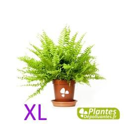 Plante Dépolluante - Néphrolepis XL - Fougère