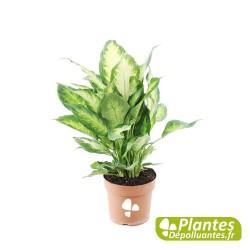 Plante Dépolluante - Dieffenbachia