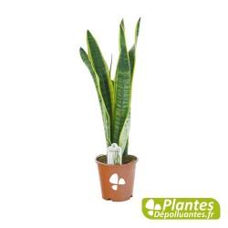 Plante Dépolluante - Senseveria