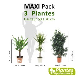 Pack [Maxi] - 3 Plantes