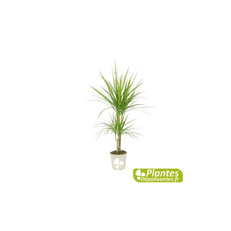 plante d 39 int rieur d polluante dracaena marginata 2 pieds. Black Bedroom Furniture Sets. Home Design Ideas