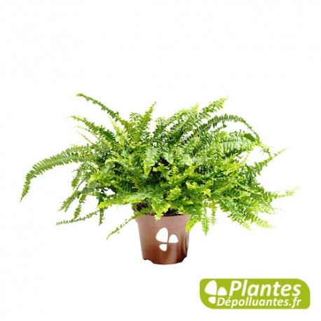 Plante d 39 int rieur d polluante n phrolepis foug re for Fougere interieur