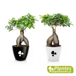 Plante Dépolluante - Ficus Ginseng + Cache pot