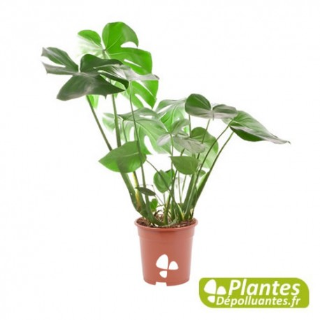 plante d 39 int rieur d polluante philodendron monstera. Black Bedroom Furniture Sets. Home Design Ideas