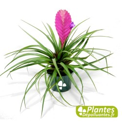 Plante Vivace - Tillandsia Anita