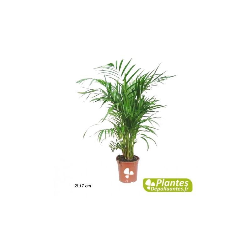 Ar ca palmier d 39 arec plante d 39 int rieur d polluante for Plante palmier