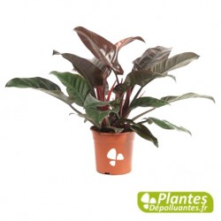 Plante Dépolluante - Philodendron Impérial Red avec Tuteur
