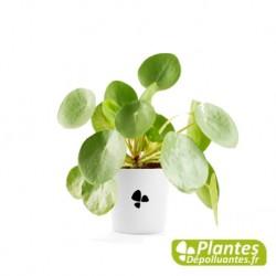 Plante Dépolluante - Pilea peperomioides (Monnaie Chinoise)