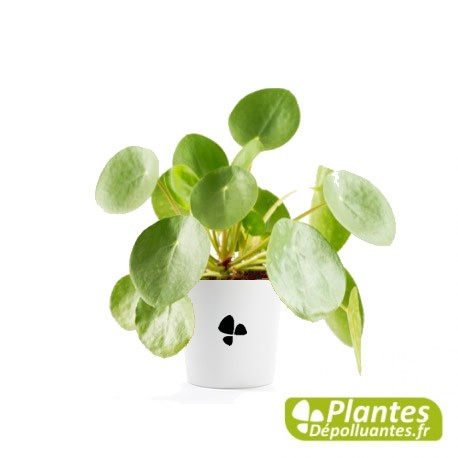 plante d 39 int rieur d polluante pilea peperomioides monnaie chinoise. Black Bedroom Furniture Sets. Home Design Ideas