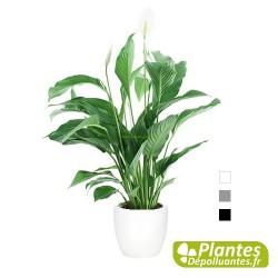 Spathiphyllum + Cache-pot