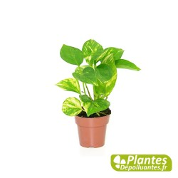 plante d 39 int rieur d polluante pothos. Black Bedroom Furniture Sets. Home Design Ideas