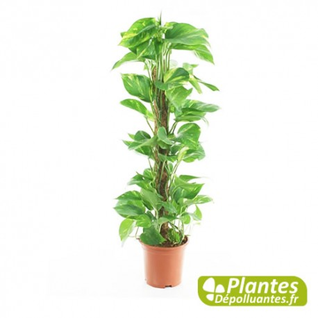 plante d 39 int rieur d polluante pothos avec tuteur. Black Bedroom Furniture Sets. Home Design Ideas