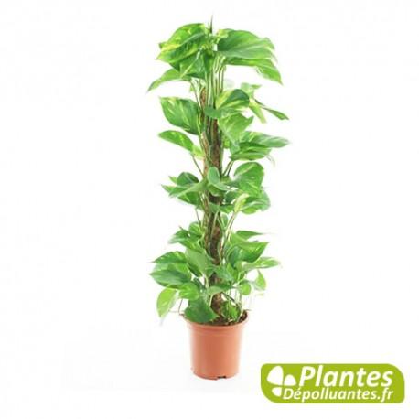 Plante d 39 int rieur d polluante pothos avec tuteur - Plante d interieur depolluante ...