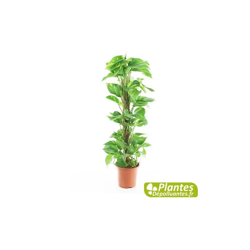 Plante D 39 Int Rieur D Polluante Pothos Avec Tuteur