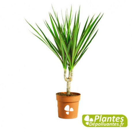 plante d 39 int rieur d polluante dracaena marginata. Black Bedroom Furniture Sets. Home Design Ideas