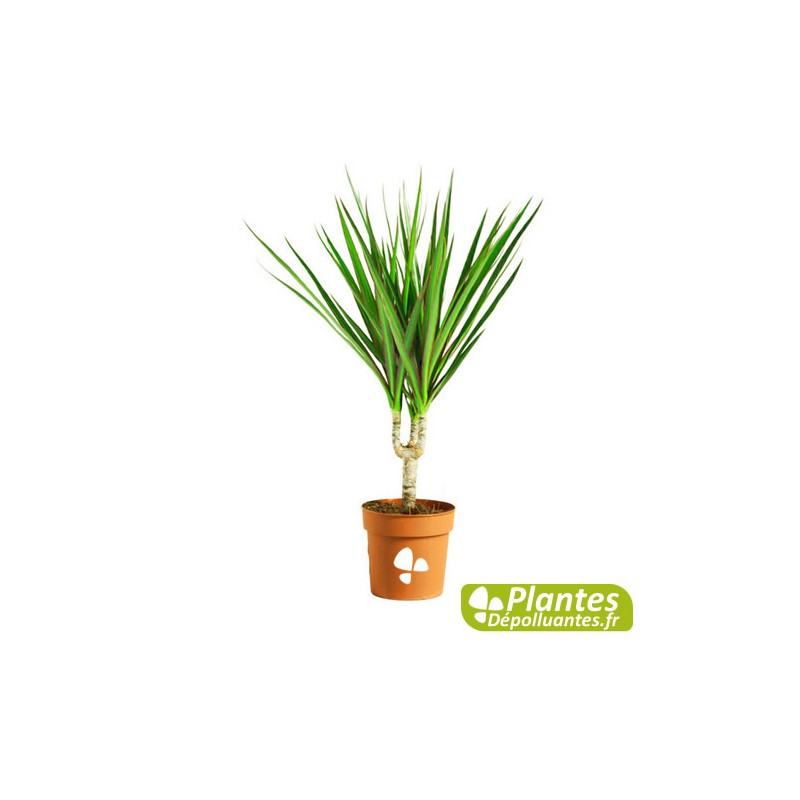 Plante d 39 int rieur d polluante dracaena marginata - Plante depolluante interieur ...