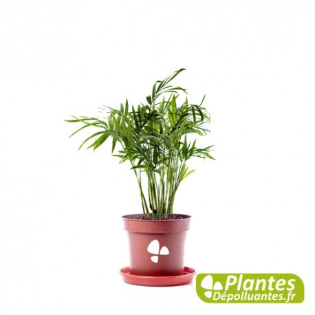Plante Dépolluante - Chamaedorea [ Mini ]