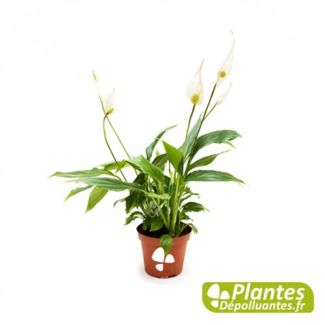 plante d 39 int rieur d polluante spathiphyllum. Black Bedroom Furniture Sets. Home Design Ideas