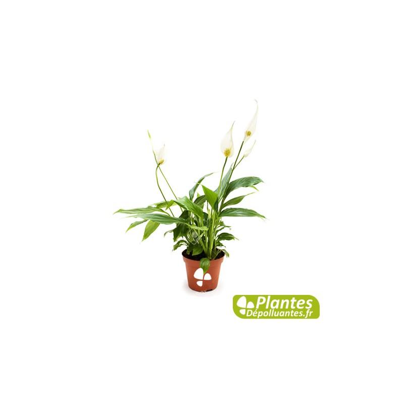 plante d 39 int rieur d polluante spathiphyllum. Black Bedroom Furniture Sets. Home Design Ideas