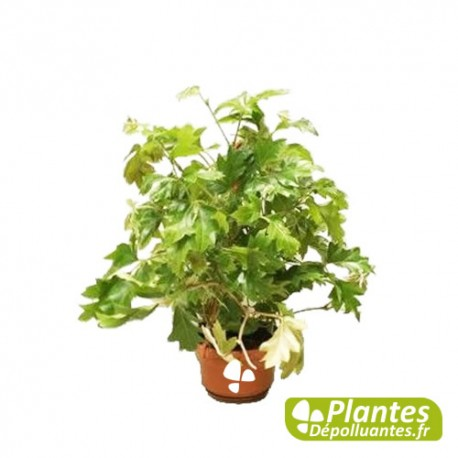Plante d 39 int rieur d polluante cissus vigne d 39 appartement for Plante appartement