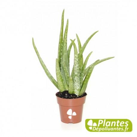 Plante d 39 int rieur d polluante alo vera for Plante aloe vera chambre