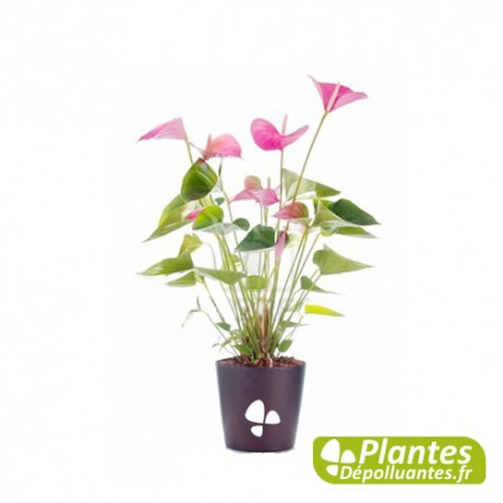 plante d 39 int rieur d polluante anthurium rose. Black Bedroom Furniture Sets. Home Design Ideas