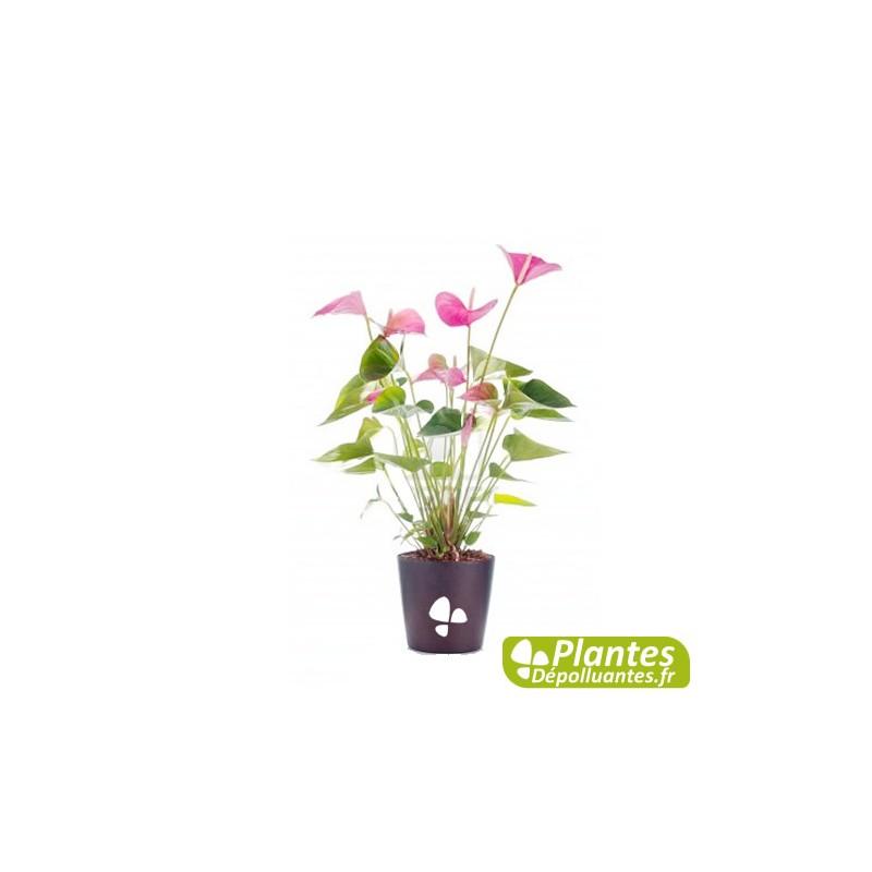 plante d 39 int rieur d polluante anthurium rose. Black Bedroom Furniture Sets. Home Design Ideas