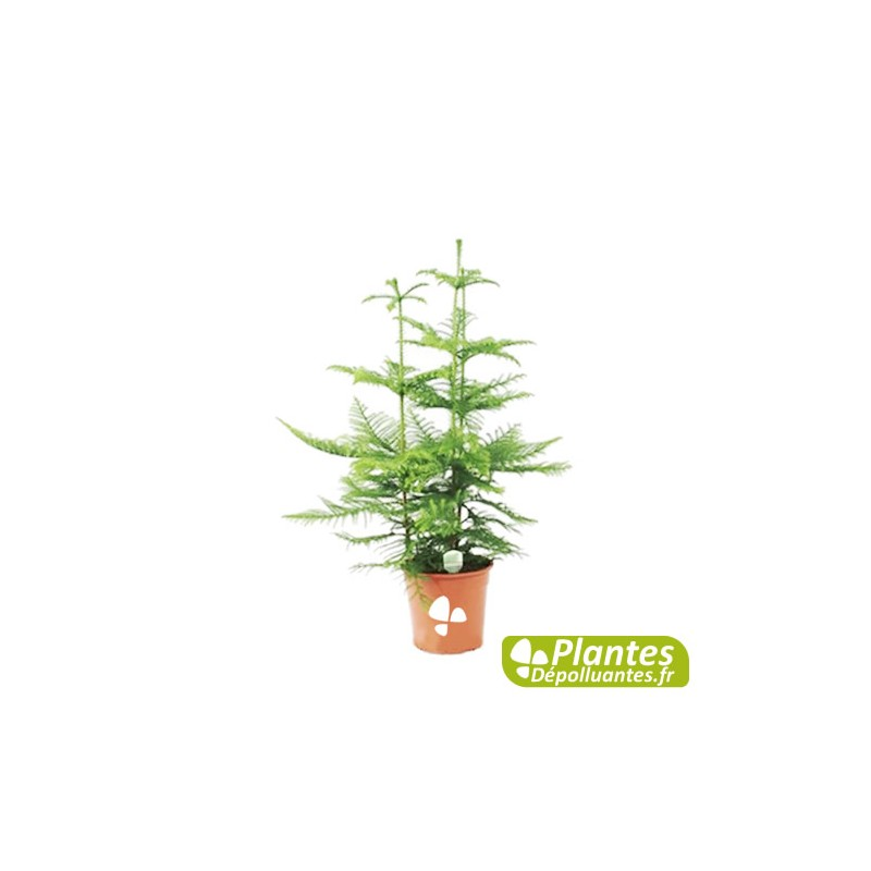 Plante d 39 int rieur d polluante araucaria pin de norfolk - Araucaria plante d interieur ...