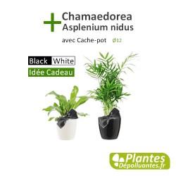 Asplenium nidus + Chamaedorea