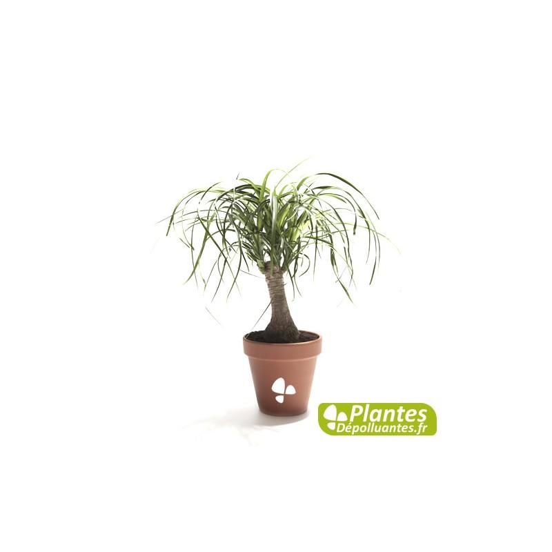 Plante D 39 Int Rieur D Polluante Beaucarn A