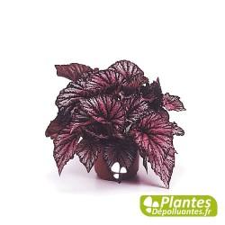 Plante Dépolluante - Bégonia Rex