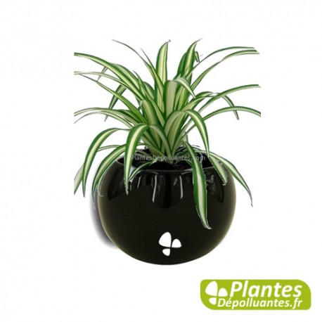 plante d 39 int rieur d polluante chlorophytum mini cache pot magn tique. Black Bedroom Furniture Sets. Home Design Ideas