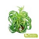 Plante Dépolluante - Chlorophytum Bonnie