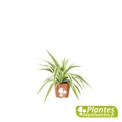 Plante Dépolluante - Chlorophytum Ocean [ Mini ]