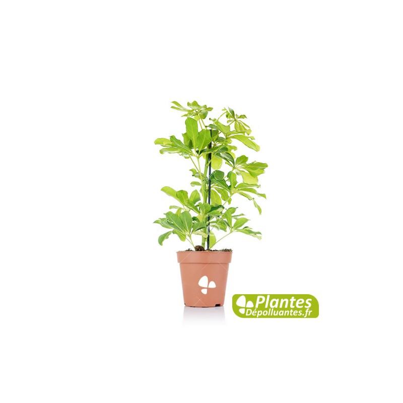 Plante d 39 int rieur d polluante schefflera - Plante d interieur depolluante ...
