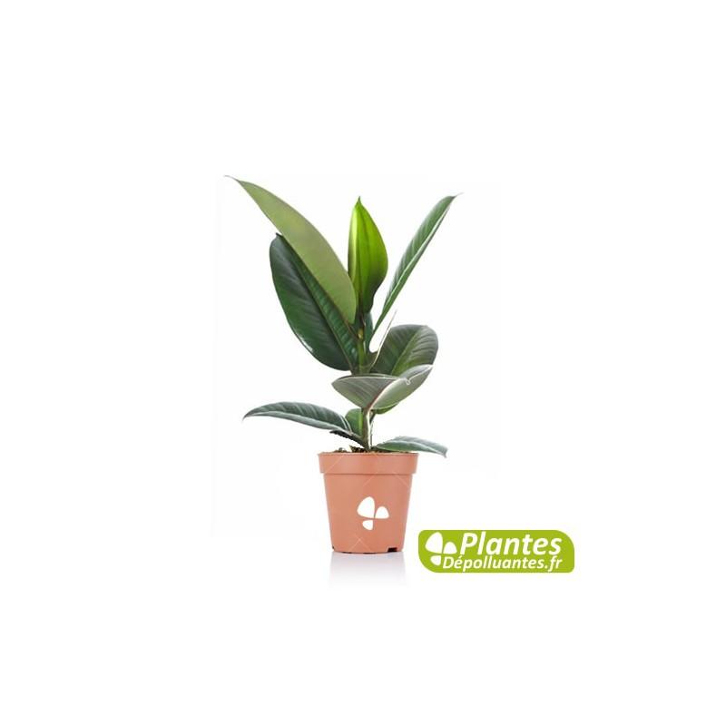plante d 39 int rieur d polluante ficus elastica robusta. Black Bedroom Furniture Sets. Home Design Ideas