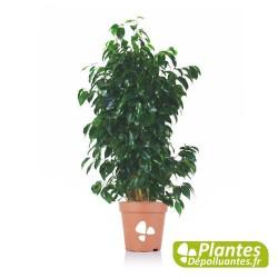 Ficus Danielle - Figuier Pleureur