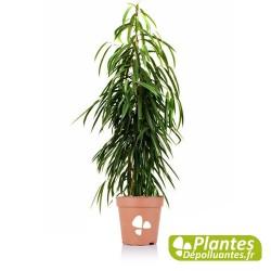 Ficus Alii - Figuier feuille de Sabre