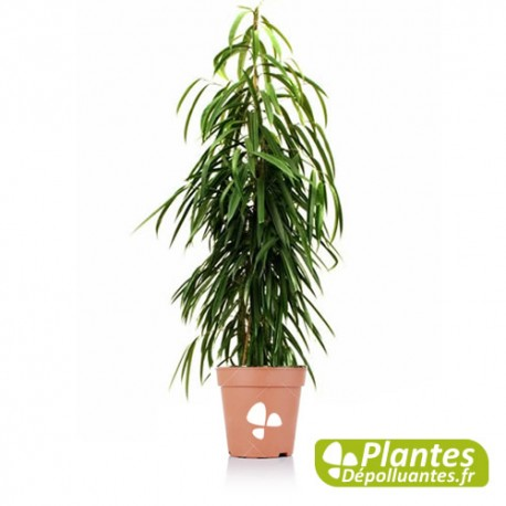 Ficus alii figuier feuille de sabre altavistaventures Image collections