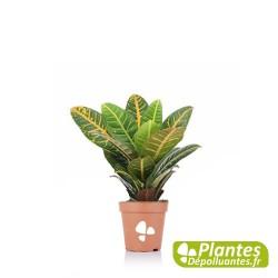 Plante Dépolluante - Croton [Mini]