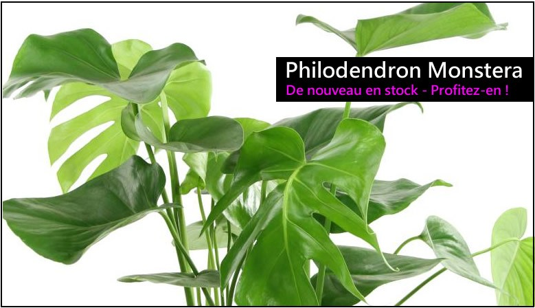 Philodendron Monstera - Stock Limité