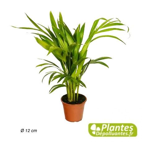 Areca Palmier D Arec Plante D Interieur Depolluante