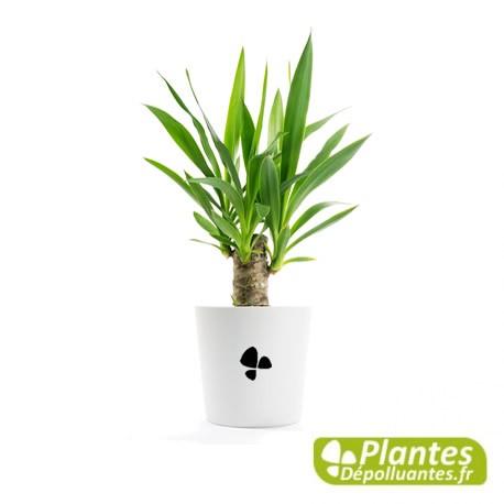 Plante D Interieur Depolluante Yucca Cache Pot