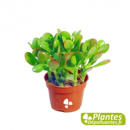 Plante D Interieur Depolluante Succulent Crassula