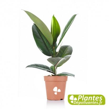 Plante D Interieur Depolluante Ficus Elastica Robusta